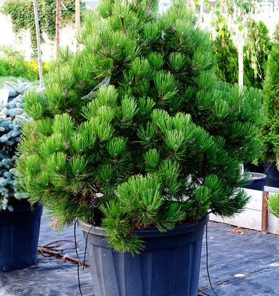 Pinus leucodermis Compact Gem_1.JPG