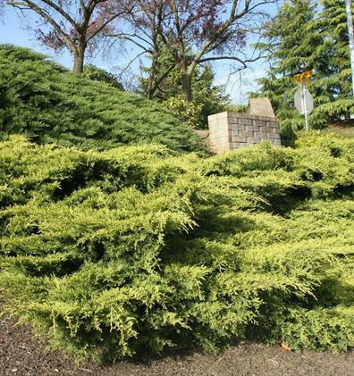 Juniperus media Gold Coast_3.jpg