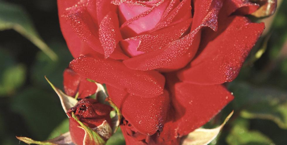 Rosa floribunda Lübecker Rotspon