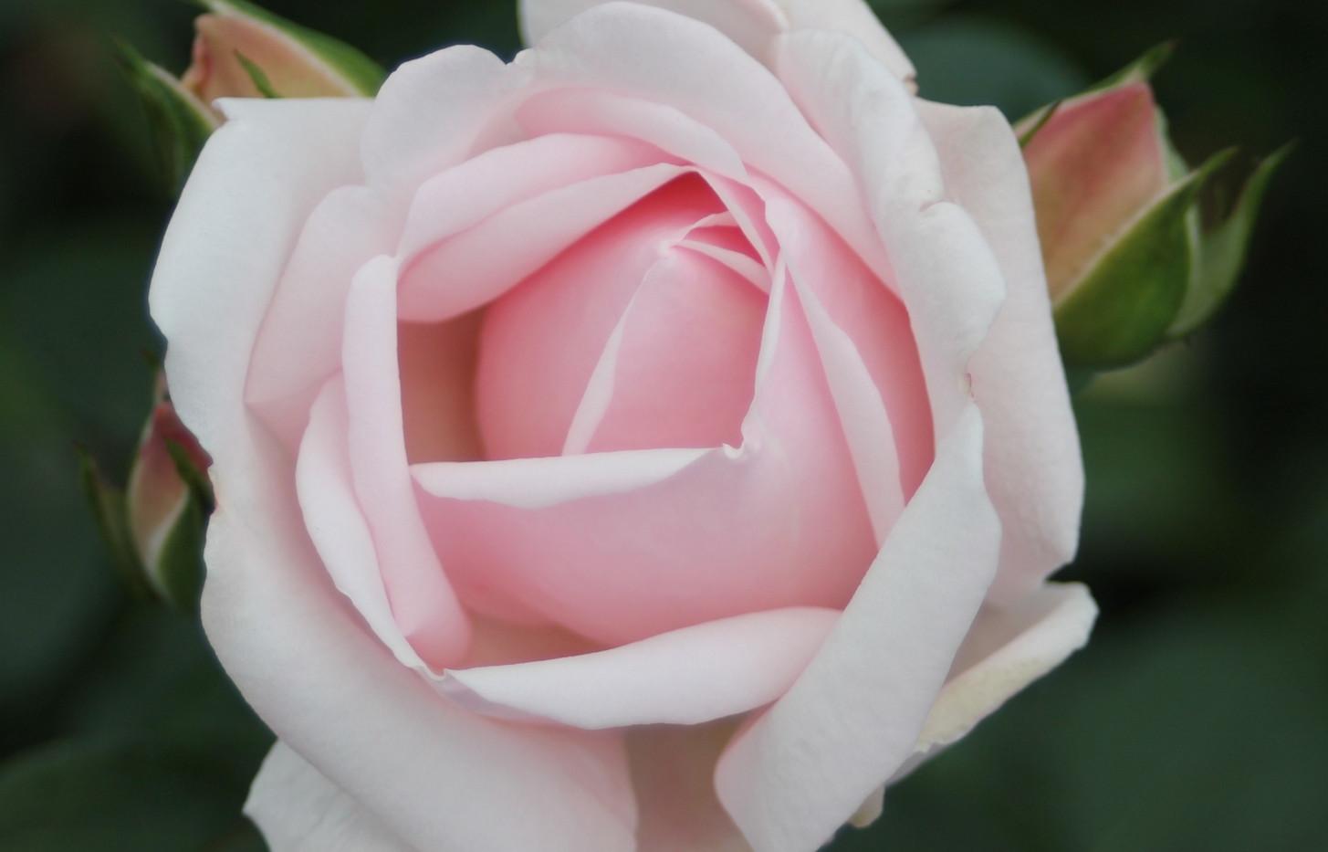 Rosa New Dawn2.jpg