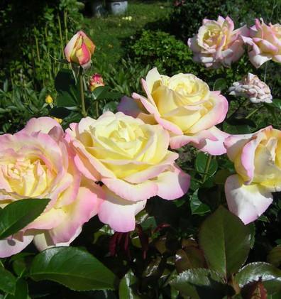 Rosa Gloria Dei3.jpg