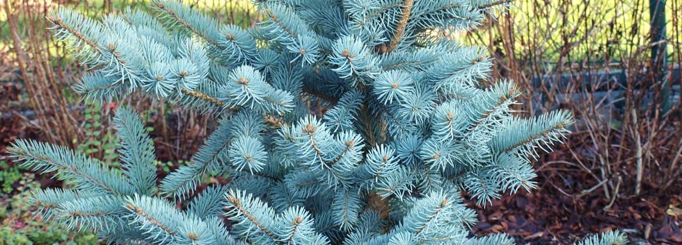 Picea pungens glauca_1.jpg