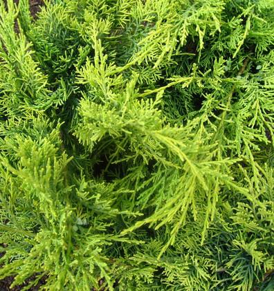 Juniperus media King of Spring_2.jpg