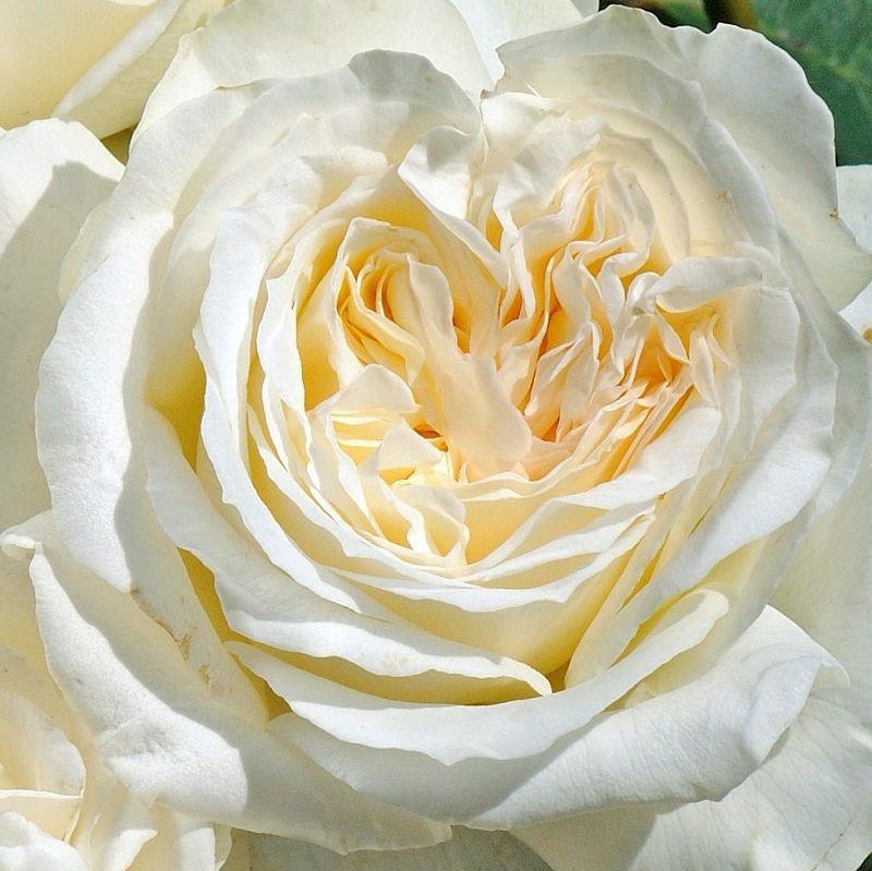 Rosa Irina1.jpg