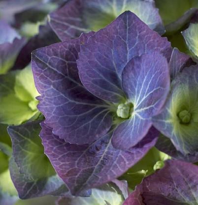 Hydrangea macr. Blacksteel Blue.jpg