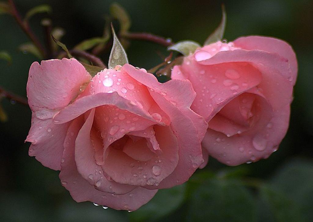 Rosa Summer Lady2.jpg