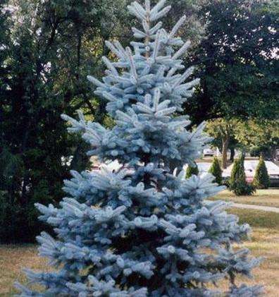 Picea pungens Hoopsii4.jpg