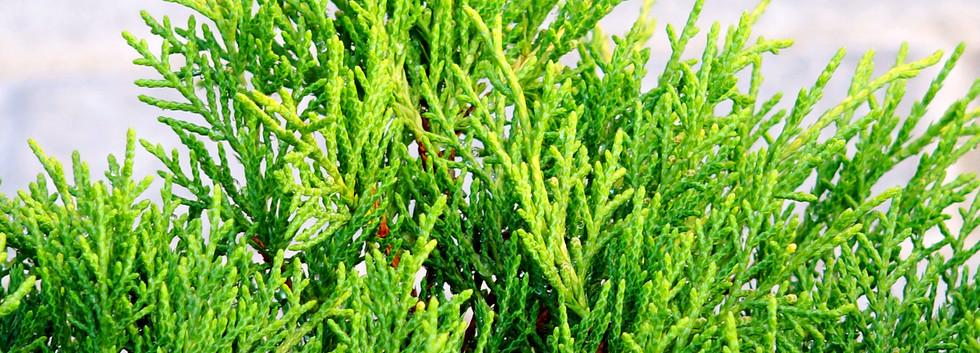 Juniperus media Old Gold_2.JPG