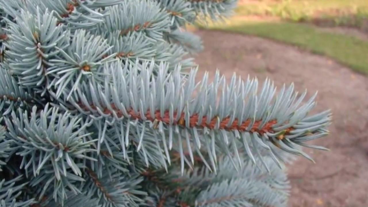 Picea pungens Oldenburg_2.JPG