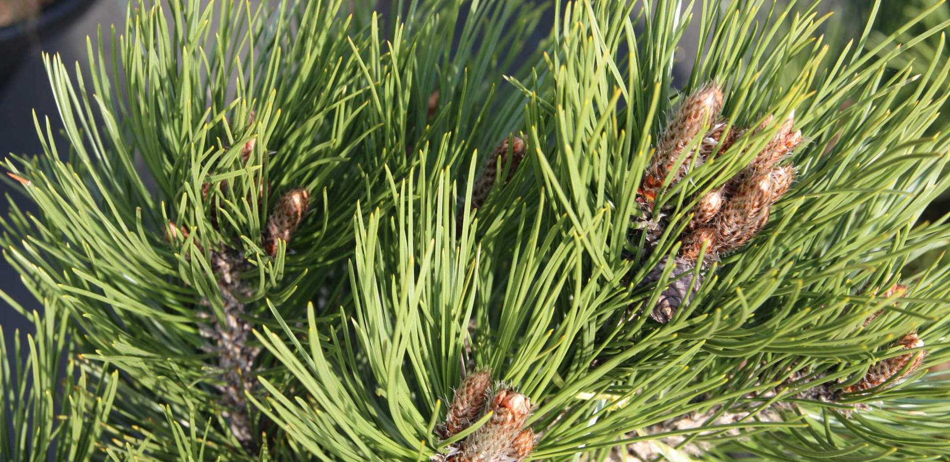Pinus leucodermis Malinki_2.jpg