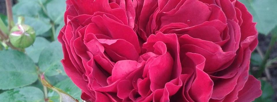 Rosa Erotic Rokoko1.jpg