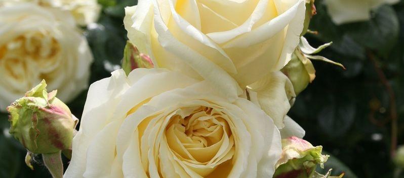 Rosa Elfe1.jpg