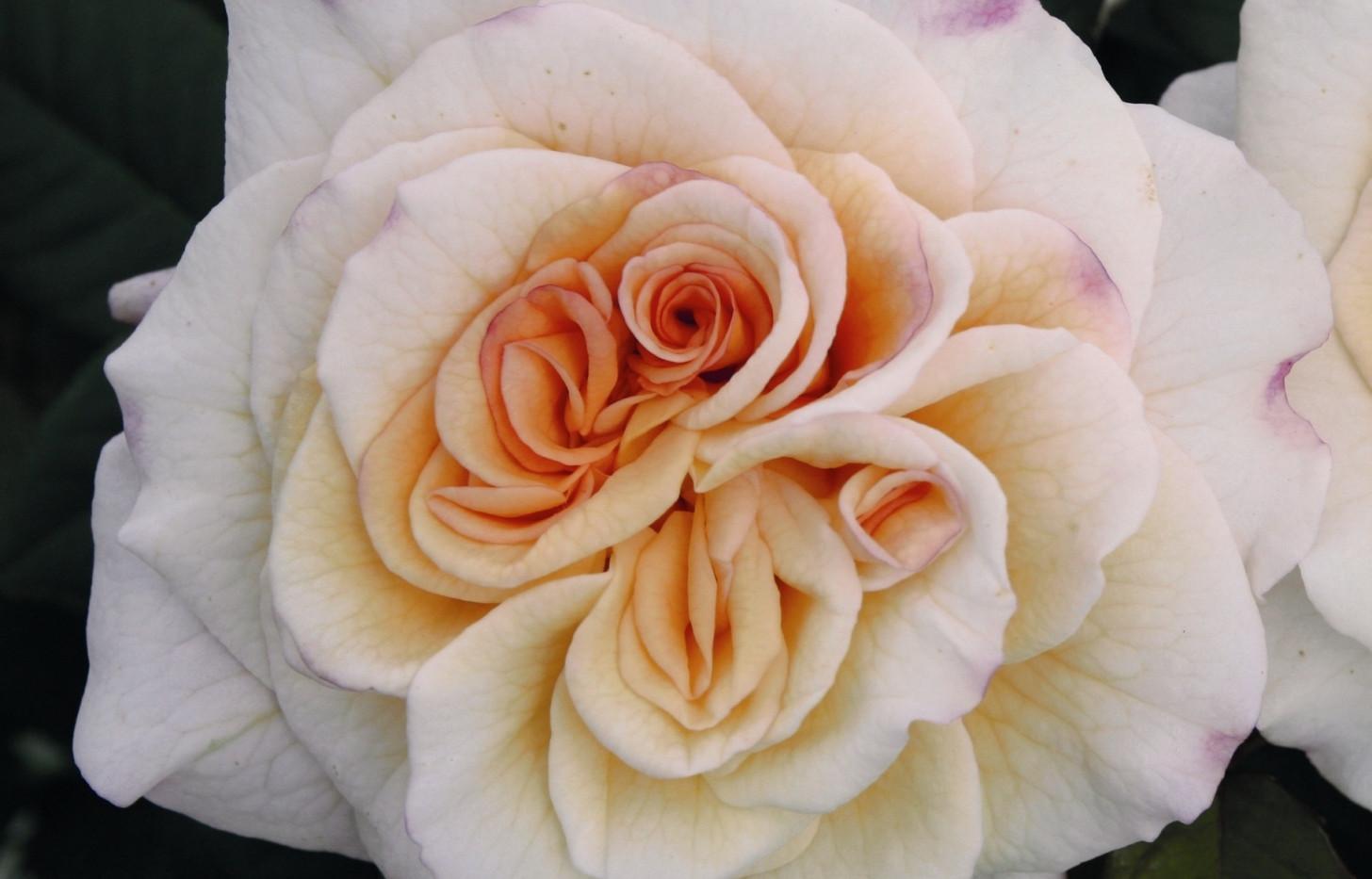 Rosa Comtessa2.jpg