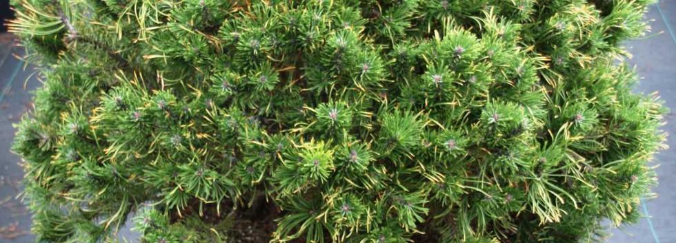 Pinus mugo Carsten's Wintergold_1.jpg