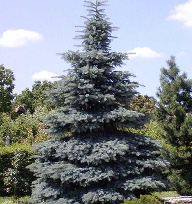 Picea pungens Misty Blue_3.jpg