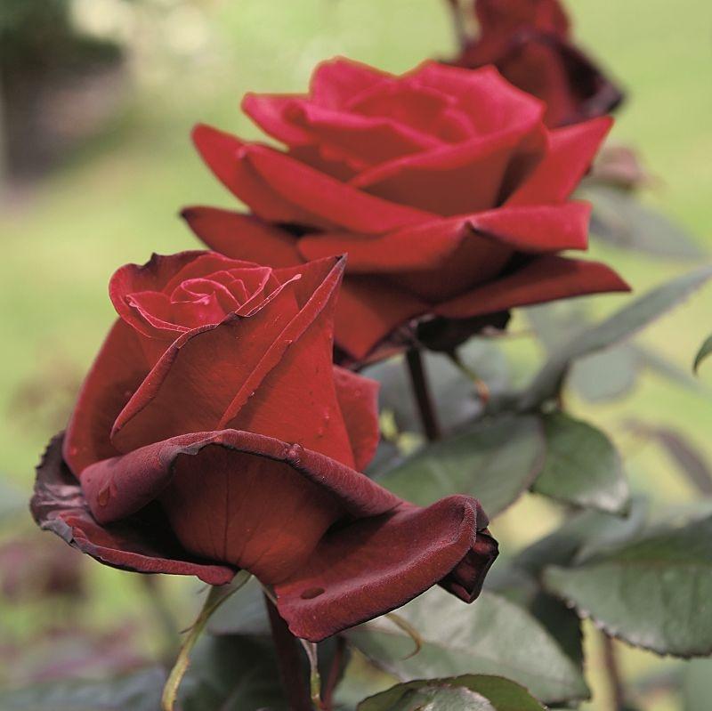 Rosa Barkarole2.jpg