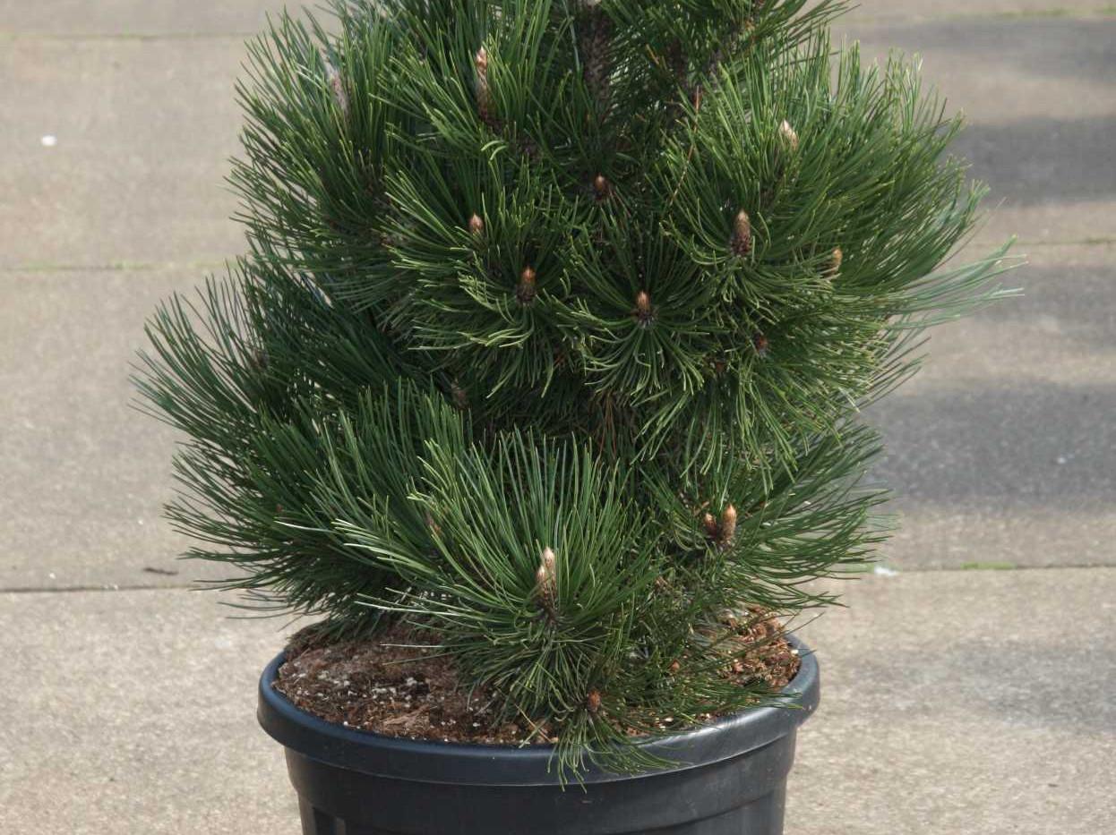 Pinus leucodermis Malinki_1.jpg
