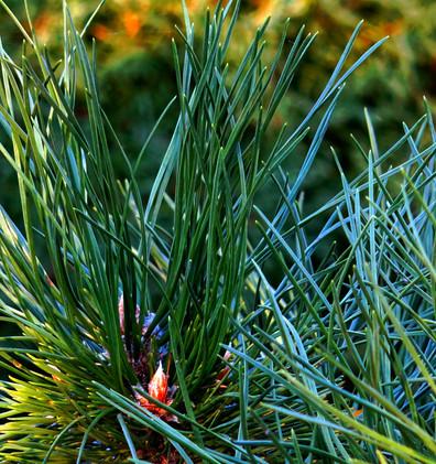 Pinus nigra Hornibrookiana_2.JPG