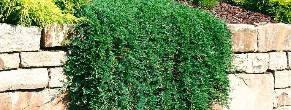 Можжевельник горизонтальный 'Wiltonii'  ( Juniperus hor. 'Wiltonii')