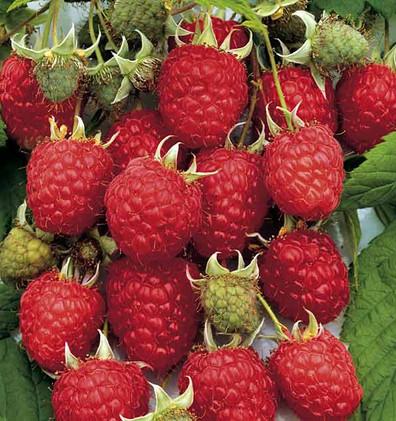 Rubus_idaeus_'Héritage'.jpg