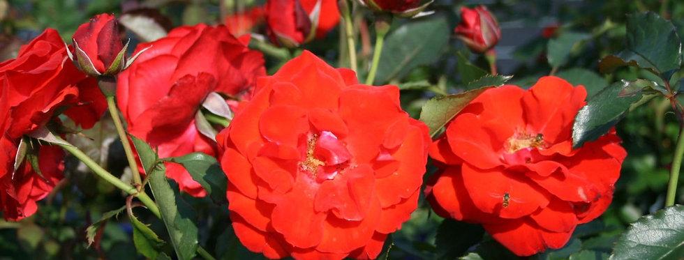 Rosa floribunda Olympisches Feuer 92