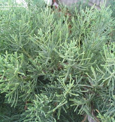 Juniperus media Pfitz. Glauca_2.jpg