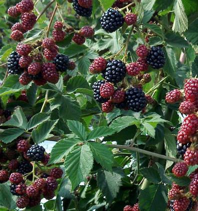 Rubus frut. 'Thornfree'.jpg