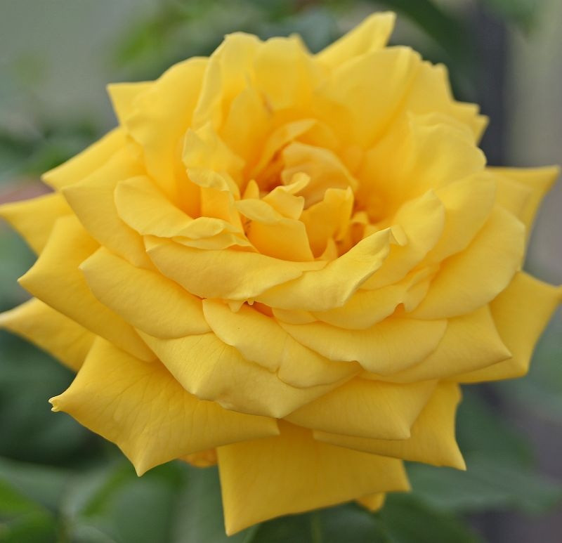 Rosa Goldstern1.jpg