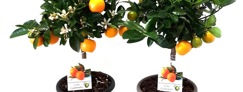 Citrus Calamondin Stam