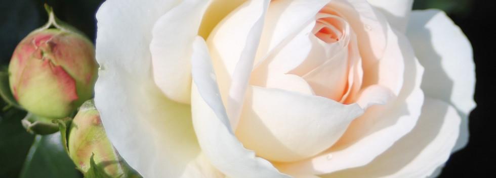 Rosa Marie Antoinette2.jpg