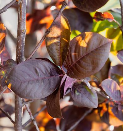 Prunus virginiana Shubert_2.jpg