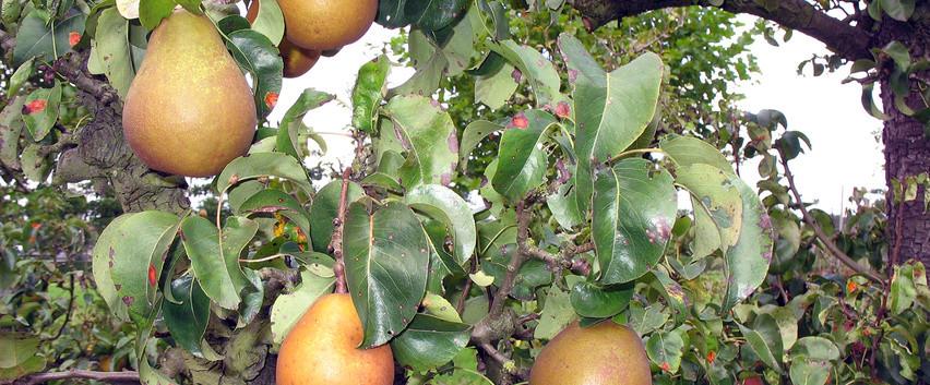 pyrus-communis-beurr-hardy-fruits-1.jpg