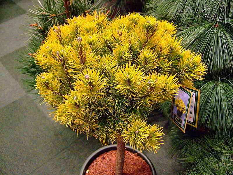 Pinus mugo Carsten's Wintergold штамб1.j