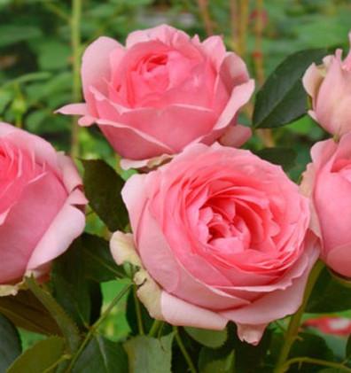 Rosa First Lady_3.jpg