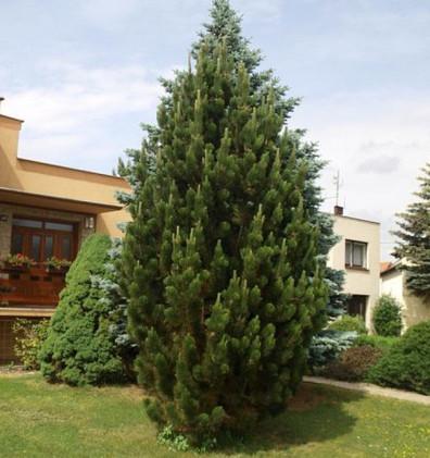 Pinus nigra Pyramidalis_3.jpg