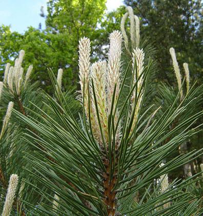 Pinus nigra Pyramidalis_2.jpg