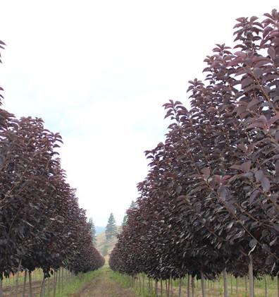 Prunus virginiana Shubert_1.jpg