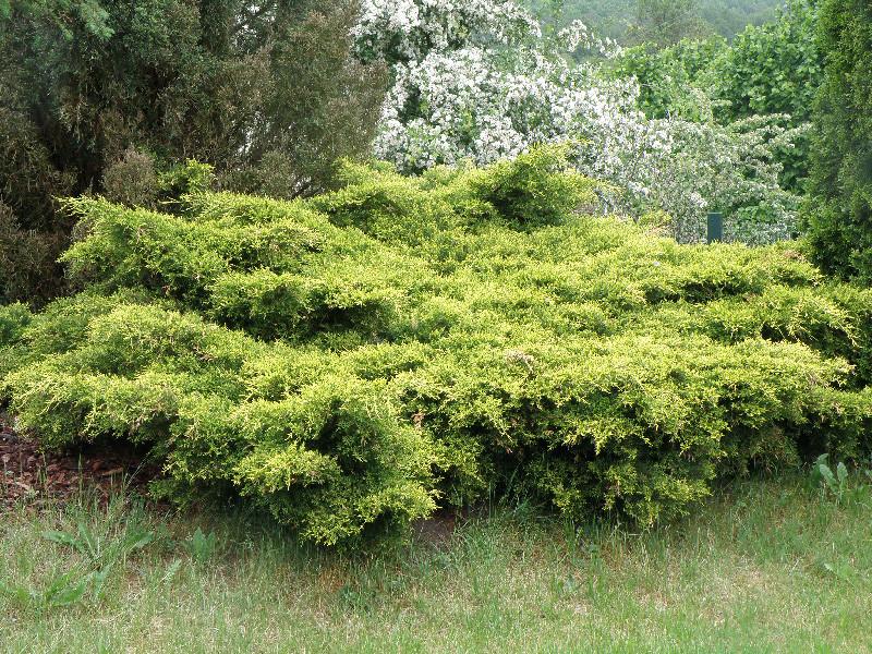Juniperus media King of Spring_3.jpg