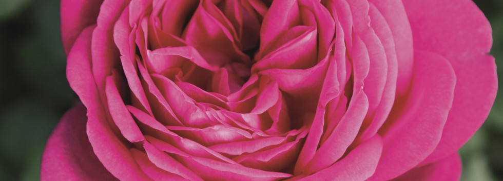 Rosa J.W. von Goethe Rose1.jpg