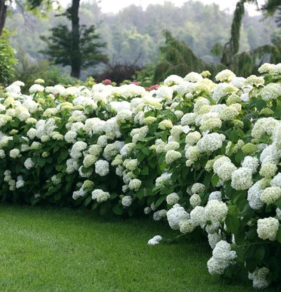 Hydrangea arborescens 'Incrediball' (Str