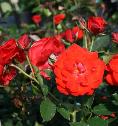 Rosa Olympisches Feuer2.jpg