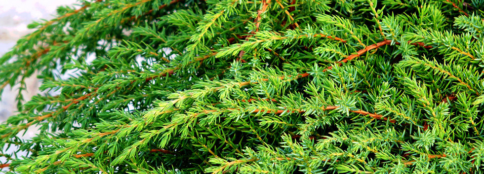 Juniperus communis Green Carpet_2.JPG