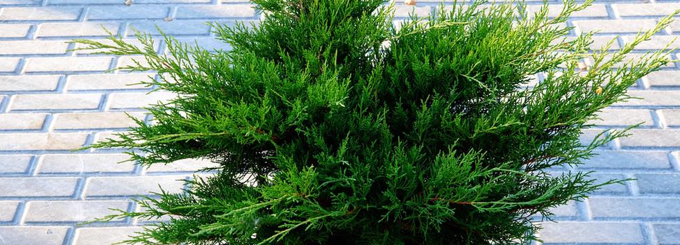 Juniperus media Mint Julep_1.JPG