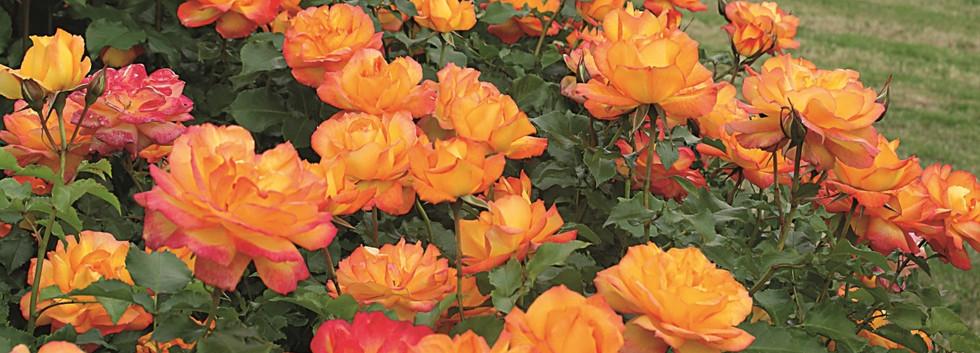 Rosa Sahara2.jpg