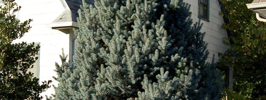 Picea pungens Iseli Fastigiate_3.jpg
