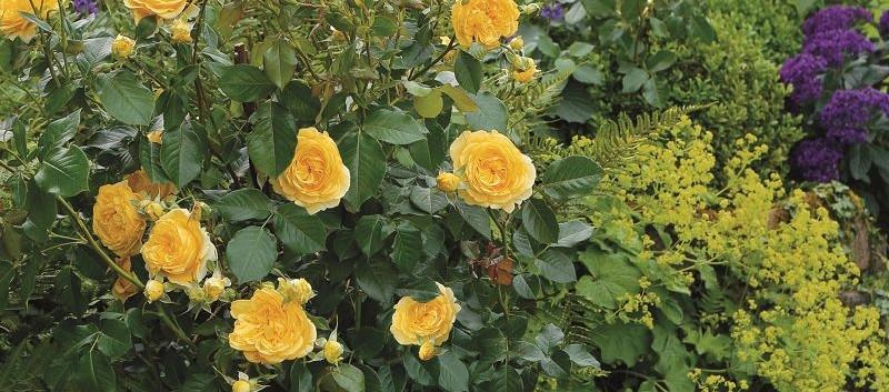 Rosa Inka3.jpg
