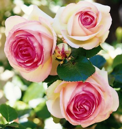 Rosa Eden Rose 85_1.jpg