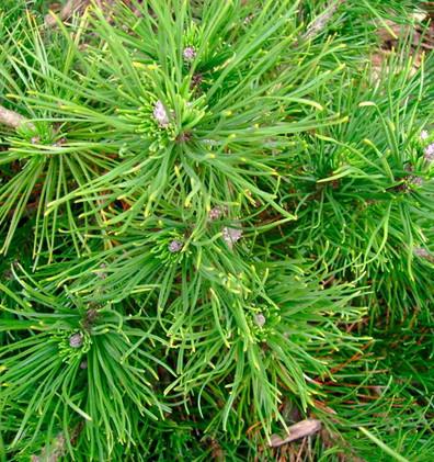 Pinus mugo Mughus_2.jpg