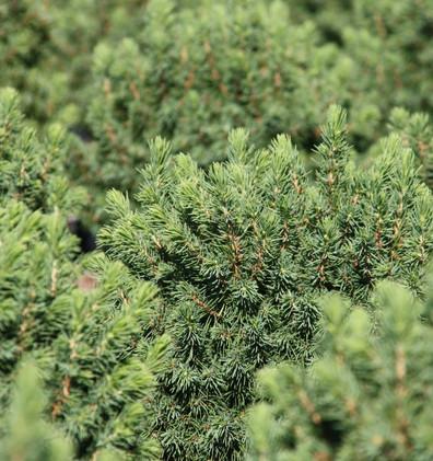 Picea glauca Alberta Globe_2.jpg