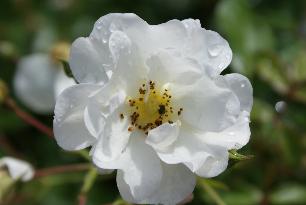Rosa Schneekonigin1.jpg